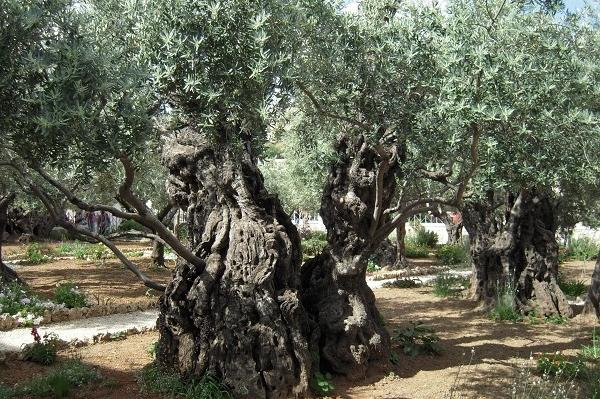 Оливковое дерево в Гефсиманском саду. Православный Иерусалим и Вифлеем — 4 дня