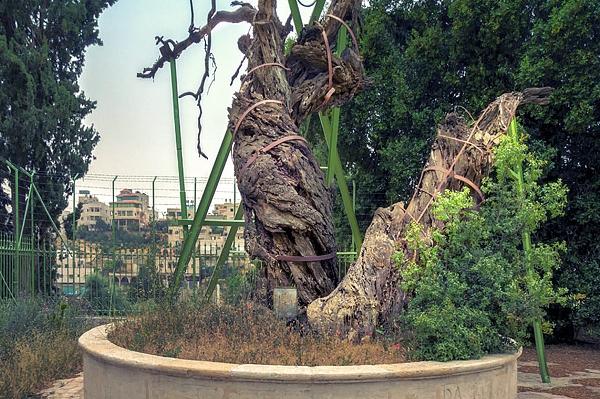 Мамврийский Дуб. Вифлеем и библейский Хеврон